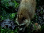 A raccoon traverses seaweed-covered rocks.