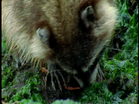 A raccoon uses its teeth to remove the shell from a crab.