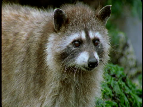 A raccoon walks across lush vegetation.