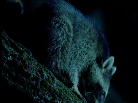 Raccoon walks down branch, climbs back up then down again, Illinois