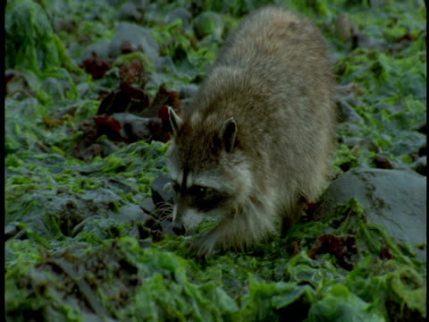 A raccoon wanders back and forth among the plants of a rocky shore.