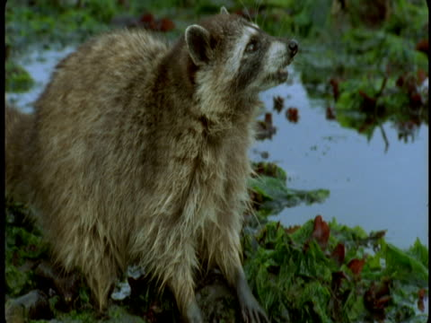 A raccoon washes its paws in a puddle of water in the forest.