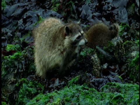 Raccoon with young forage among seaweed-covered rocks.