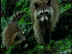 Raccoon with young forage on seaweed-covered rocks.