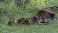 MS ZO ZI TS Raccoon with young ones running on grass / Madoc, Ontario, Canada