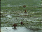 Raccoons scavenge for food on a flooded plain.