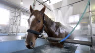 Racing horses also need a time to relax three horses are cured at a bath at Hakodate horse race center specially designed for horses After taking...