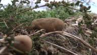 Rack Focus Bewtween 2 Potatoes On Ground