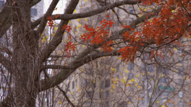 Racking focus shot of tree with orange leaves.