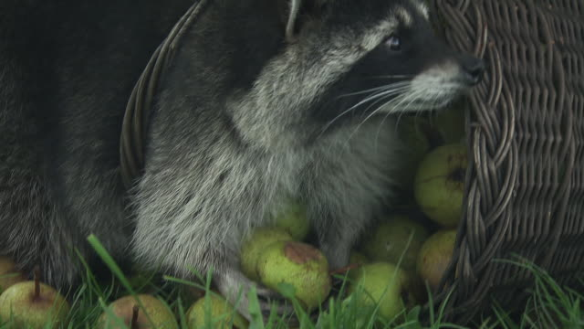 Racoon eating apples from a basket