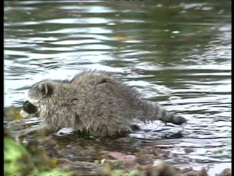 MS Racoon, Procyon lotor, walking across river, Arctic Circle