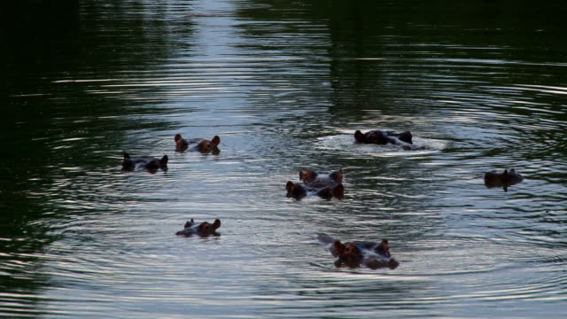 Raft of hippos wallowing in water blowing air/ Kruger National Park/ South Africa