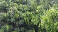 Rain and wind mango leaves
