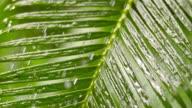 SLO MO Rain falling on a palm leaf