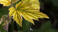 Rain falling on Anemone's Leaf, Normandy, Slow motion