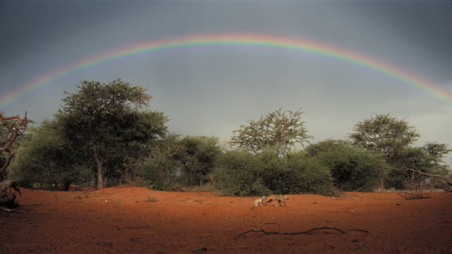 A rainbow arches over the Kalahari Desert as meerkats creep out of their burrows. Available in HD.