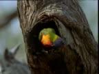 Rainbow lorikeet peers about in entrance to nest hole, Raymond Island, Victoria, Australia