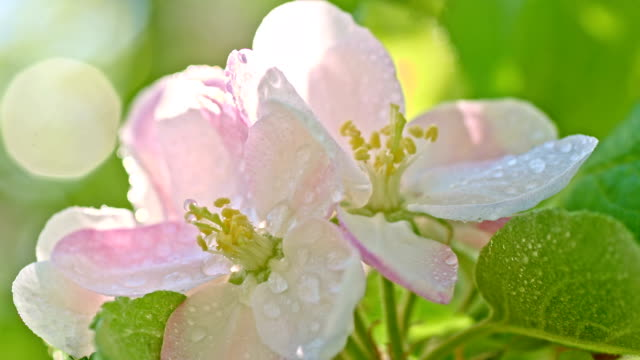 SLO MO Raindrops falling on the apple blossom