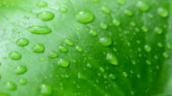 Raindrops on lotus leaf.