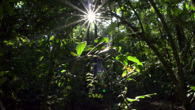 Rainforest understory, starburst sunshine, Forward Dolly 4K