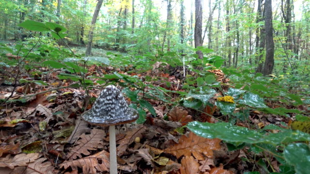 rainy weather and forest wild mushrooms