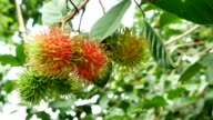 Rambutan Fruit Tree.