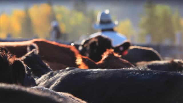 Rancher Sortierung Rind in holding Stifte