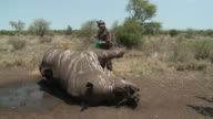 Ranger looking over dead rhino killed by poachers