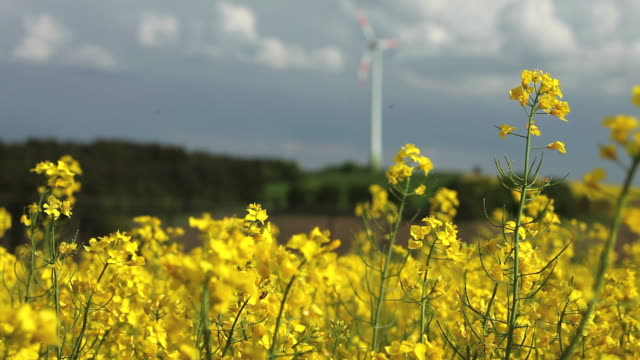 Rapeseed Field In Front Of A Wind Turbine
