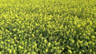 Rapeseed Feld im Frühjahr Luftaufnahme der Überführung von