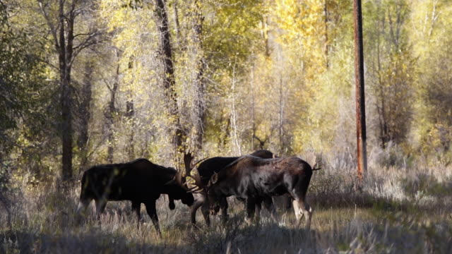 WS rare shot of 3 bull moose (Alces alces) fighting during the rut