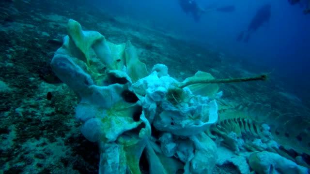 Sällsynt Whale skelett under vattnet med dykare