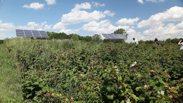 MS Raspberry field with solar panels and people walking / Milton, Ontario, Canada