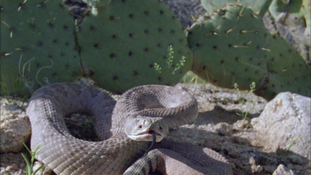 SLO MO CU Rattlesnake attacking camera, Arizona, United States