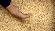 Raw dry corn spills