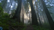 TIME LAPSE LOW ANGLE MEDIUM SHOT rays of sun shine through misty redwood forest in Redwood National Park