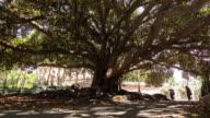árbol con atardecer y sombras mviendose timelapse y raices grandes