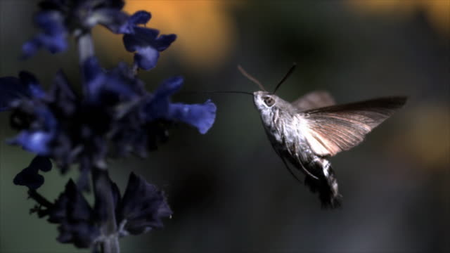 Real time and slow motion footage of a Hummingbird Hawk Moth feeding on a blue flower