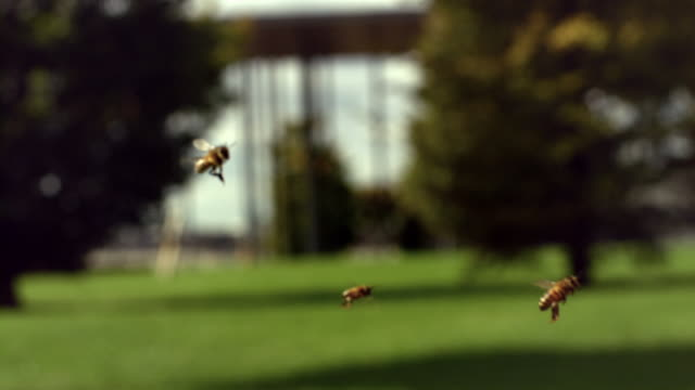 Real time and slow motion shots of bees flying