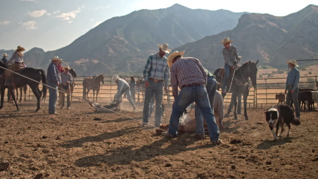 Real time video of cowboys Branding a Young Beef Cow, Utah, USA