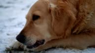 Really cute golden retriever dog lying in the snow and chewing a stick