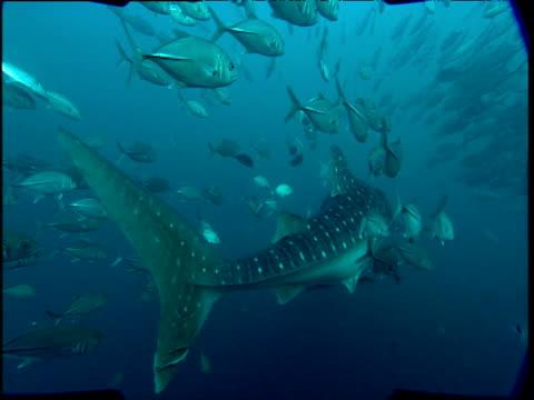Rear shot of whale shark swimming with shoal of jacks, Phuket