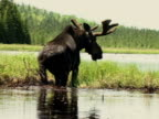 WS, Rear view of Moose bull (Alces alces) at lake shore, Algonquin Provincial Park, Ontario, Canada