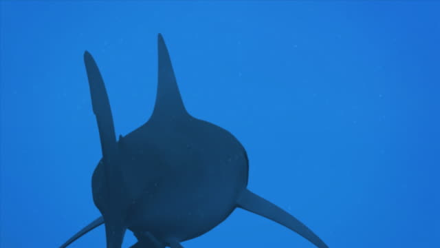 CGI, Rear view  of shark swimming against blue background