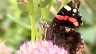 Red admiral butterfly on Sedum flowers