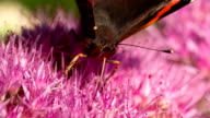 ZEITLUPE: Red Admiral Butterfly