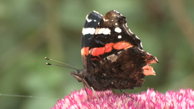 Red Admiral (Vanessa atalanta), curls up proboscis and then uncurls to feed, UK