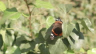 Red Admiral, Vanessa Atalanta butterfly over some leafs in a sunny day
