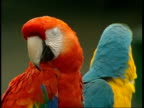 CU Red and green, blue and yellow macaws looking in opposite directions