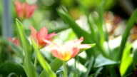 red and pink tulips blowing in the wind